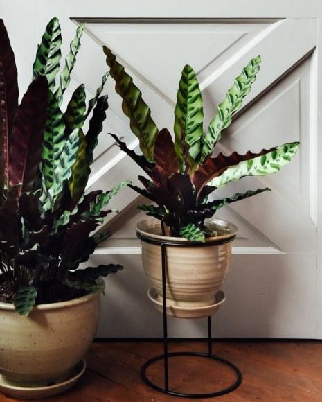 calathealancifolia-pots-pistilsnursery