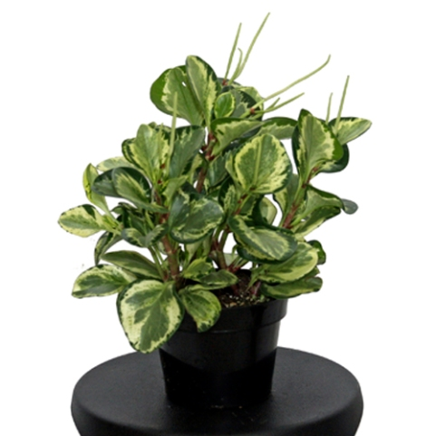 PEPEROMIA-GOLDEN-GATE